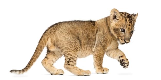 Vista laterale di un cucciolo di leone in piedi scalpitando isolato su bianco