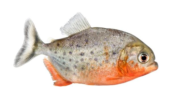 Vista laterale su un pesce piranha - serrasalmus nattereri su un bianco isolato