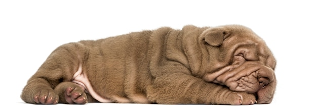 Vista laterale di un cucciolo di shar pei sdraiato dormendo isolato su bianco