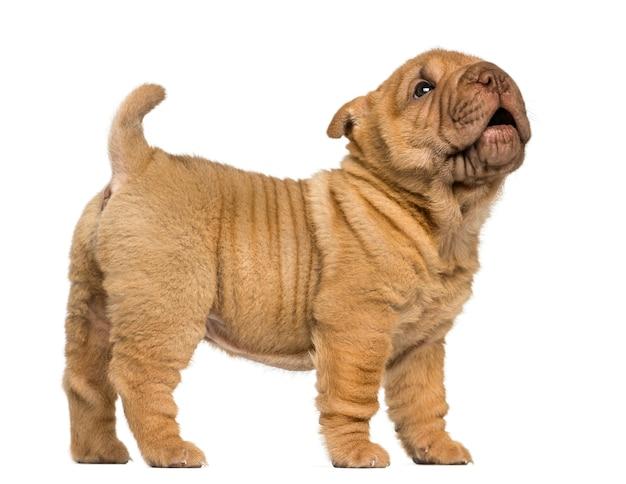 Vista laterale di un cucciolo di shar pei in piedi, abbaiando, isolato su bianco