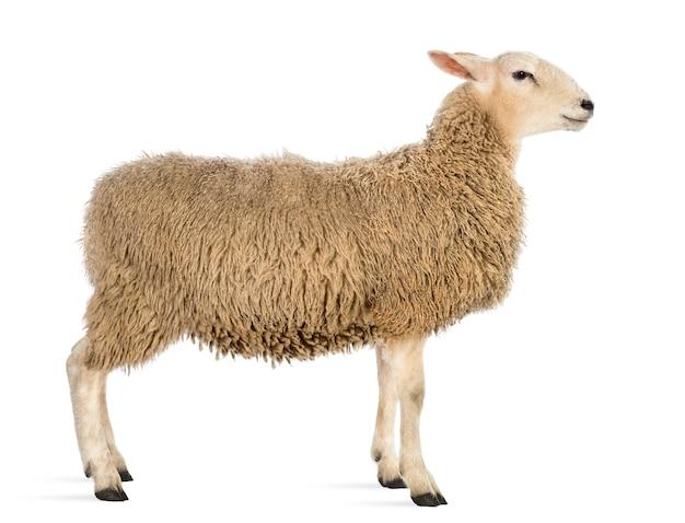 Vista laterale di una pecora contro lo spazio bianco