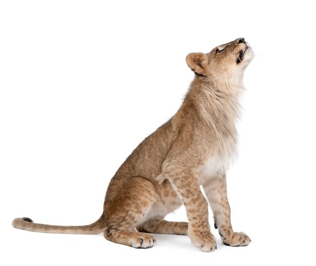 Vista laterale di giovane cucciolo di leone che cerca, panthera leo isolato