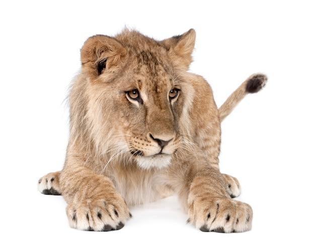 Vista laterale di giovane cucciolo di leone, panthera leo