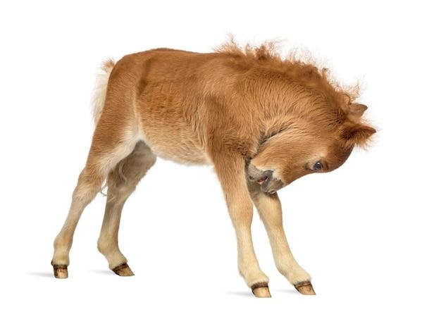 Vista laterale di un giovane poney che si gratta, puledro contro una superficie bianca