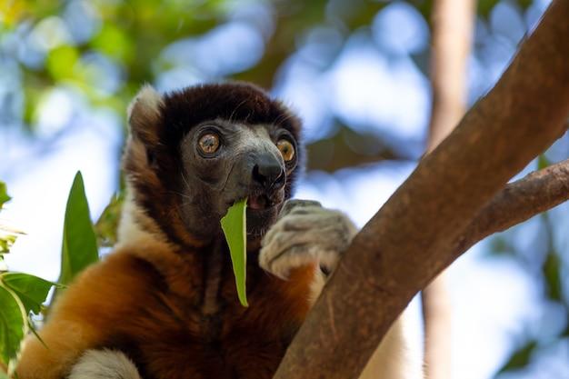 Un lemure sifaka che si è messo a suo agio sulla cima degli alberi
