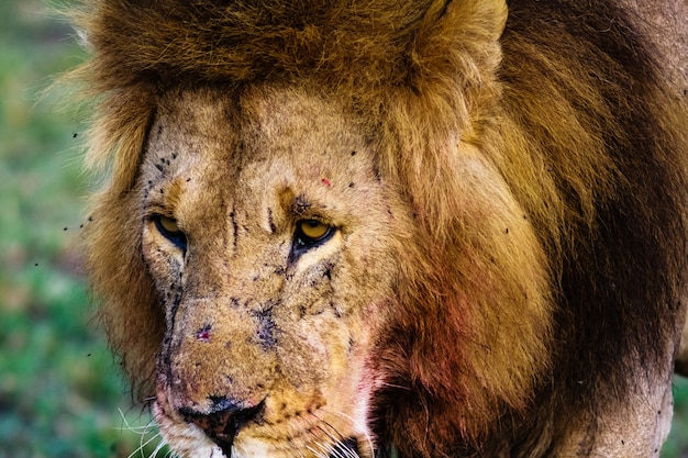 La vista di un leone. kenya, africa