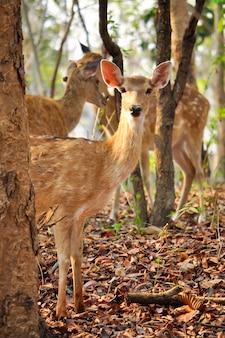 Cervo sika