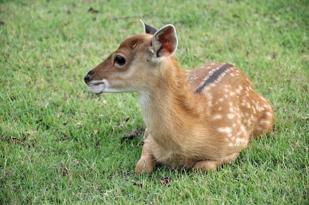 Il cervo sika
