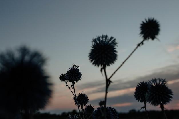 Silhouette di un'ape che impollina un fiore spinoso bluehead al tramonto