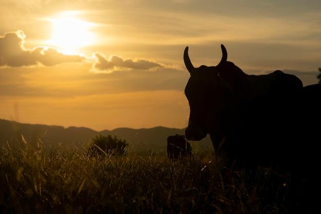 Silhouette di bovini al pascolo dell'azienda al tramonto