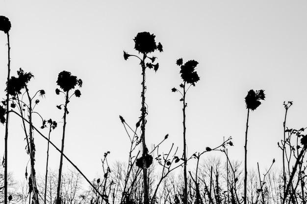 Silhouette di fiori secchi su uno sfondo bianco