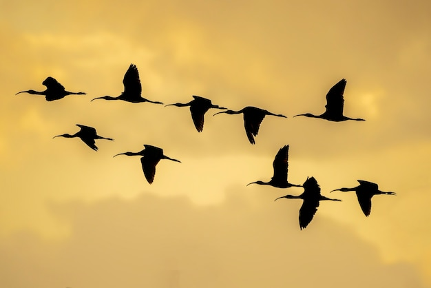 Silhouette di un gruppo di lucida ibis (plegadis falcinellus) al ricefields al tramonto in albufera de valencia, valencia, spagna.