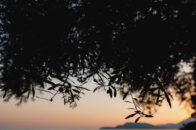 La sagoma dei rami d'ulivo contro il cielo al tramonto