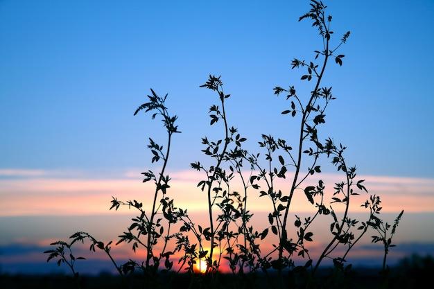 Le piante di sagoma fioriscono contro il sole al tramonto