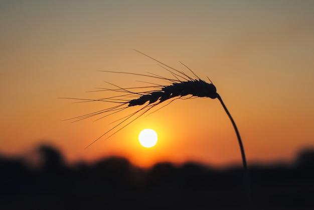 Silhouette di una spiga di grano al tramonto spiga di grano sullo sfondo del sole nascente