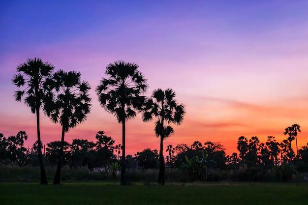 Fattoria di palme da zucchero sagoma con cielo al crepuscolo al tramonto