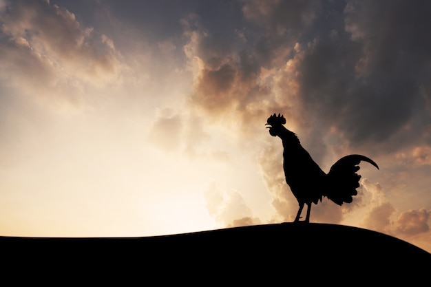 Sagome gallo corvi al mattino