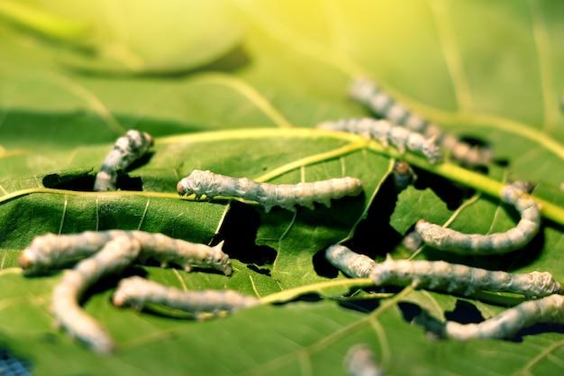 Il baco da seta mangia la foglia di gelso prima di diventare un bozzolo per fare il processo della seta