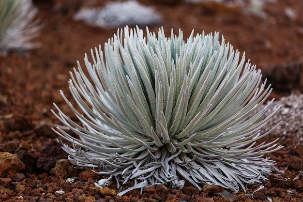 Pianta silversword nel parco nazionale di haleakala sull'isola di maui, isole hawaii, stati uniti d'america.