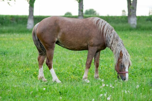 Cavallo di baia argenteo in un campo su un paddock. foto di alta qualità