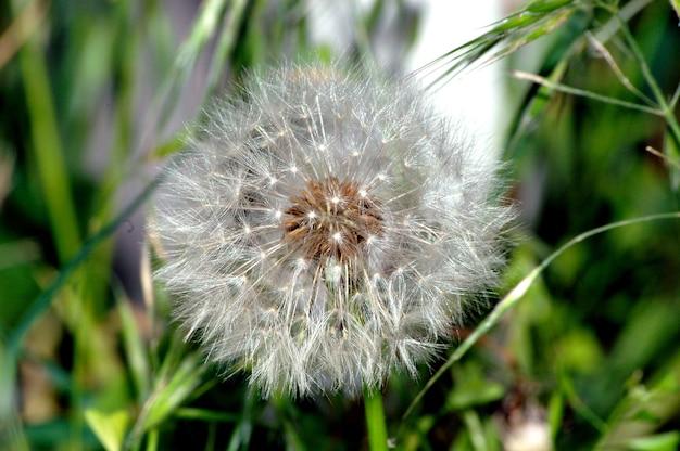 Simeone un paracadute a forma di anthodium di dente di leone sullo sfondo di un'erba verde