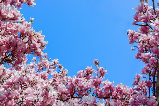 Semplice cornice di fiori di magnolia rosa naturale su sfondo blu cielo
