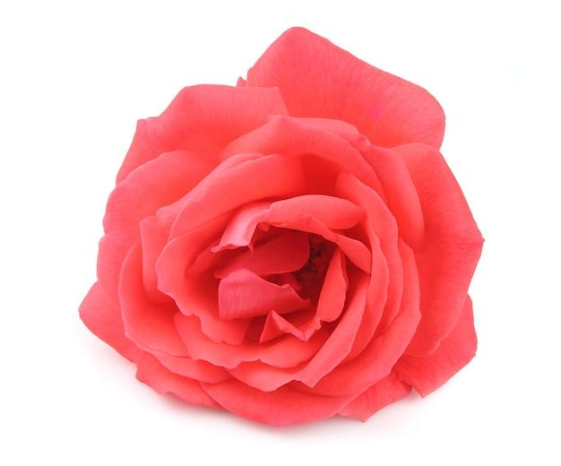 Una sola bella rosa rosa sul bianco