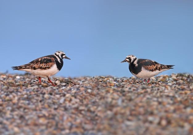 Uccelli singoli e piccoli stormi di voltapietre (arenaria interpres) in piumaggio riproduttivo sul lago in habitat naturale.