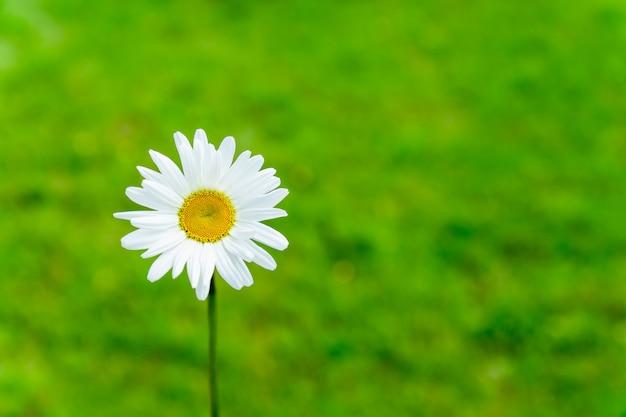 Singolo fiore di fioritura della camomilla sul fondo verde della natura. concetto di estate con spazio di copia.