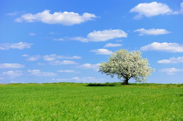Unico albero in fiore in primavera sul prato rurale