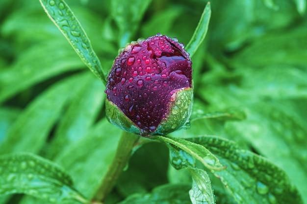 Unico bocciolo di peonia rosso bordeaux in gocce d'acqua in una giornata piovosa