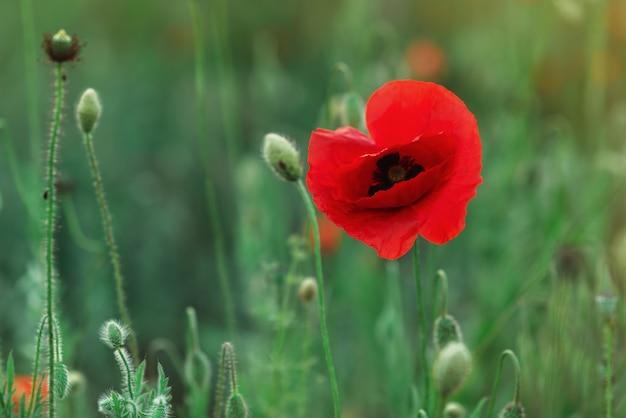 Un unico fiore di campo, papavero rosso in un campo verde. bocciolo delicato e chiuso di un bellissimo fiore di papavero primaverile. focalizzazione morbida. un fiore nella zona di nitidezza. posto per il testo. copyspace. avvicinamento