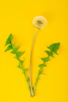 Singolo fiore di dente di leone bianco sbiadito con foglie verdi
