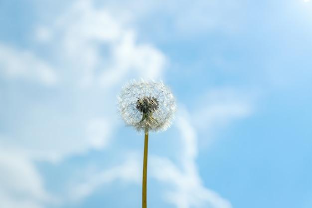 Singolo soffice tarassaco againt estate sfondo blu cielo con nuvole