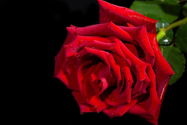 Singola grande bella rosa rossa con gocce di pioggia su sfondo nero