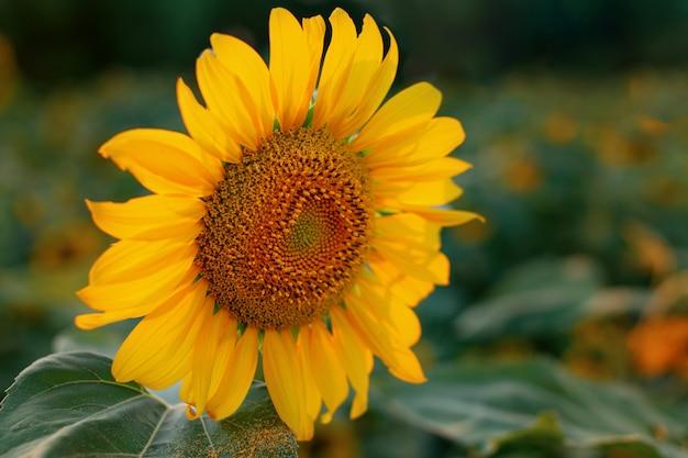Singolo girasole a fioritura gialla tardiva polline giallo sulle foglie della pianta