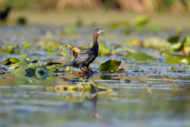 Un singolo cormorano pigmeo (microcarbo pygmaeus) girato nella morbida luce del mattino sorge sulle foglie delle piante acquatiche