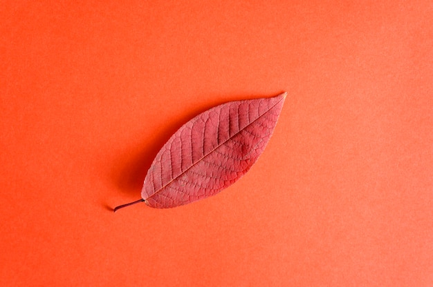 Unico rosso autunno foglie di ciliegio caduto su una carta rossa, piatto laici