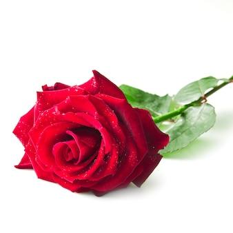 Unico fiore rosa rosso isolato su sfondo bianco