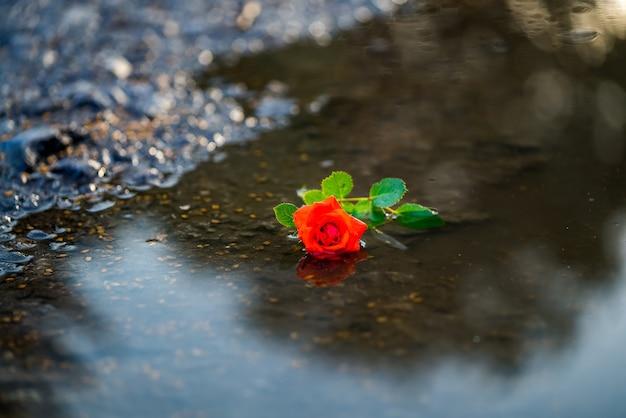 Singola rosa rossa in acqua sullo sfondo del terreno. concetto di amore e romanticismo.