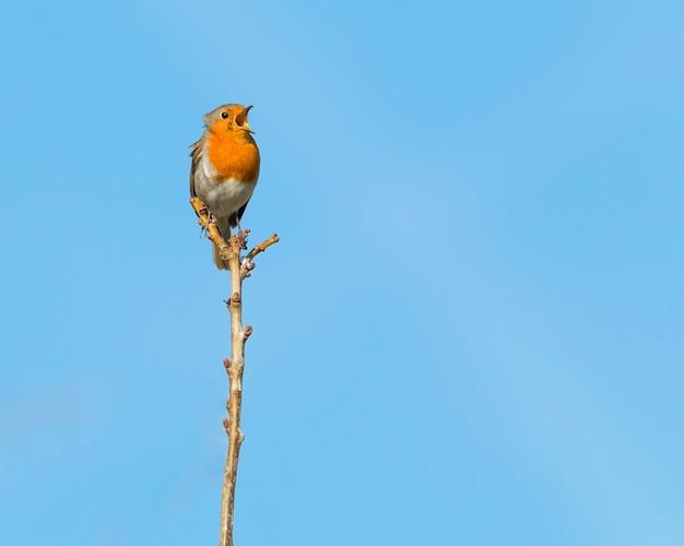 Singolo pettirosso appollaiato su un ramo in un sole mattutino che canta con il suo becco spalancato e cielo blu chiaro sullo sfondo