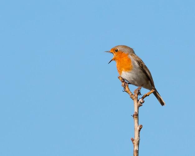 Singolo pettirosso appollaiato su un ramo in un sole mattutino che canta con il suo becco spalancato e cielo blu chiaro