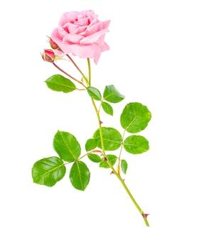 Singola rosa tenera rosa isolata su priorità bassa bianca.