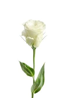 Singola rosa bianca isolata