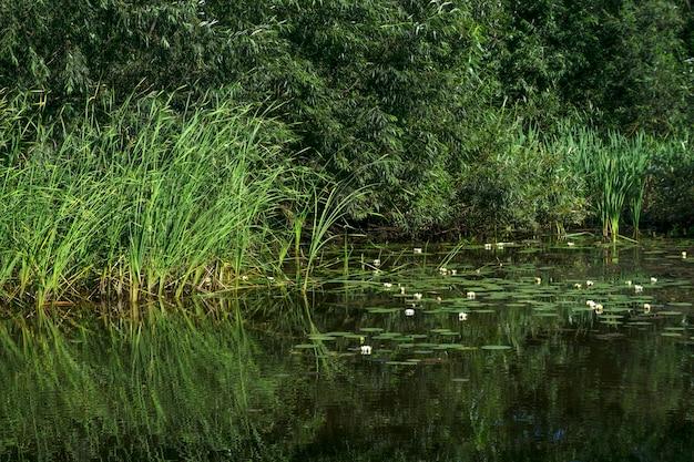 Sito di stagno in piedi invaso con canne e ninfee