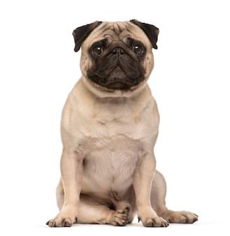Pug dog beige di seduta che esamina la macchina fotografica isolata su bianco