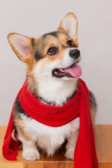 Seduto cane corgi pembroke in sciarpa rossa su sfondo grigio chiaro