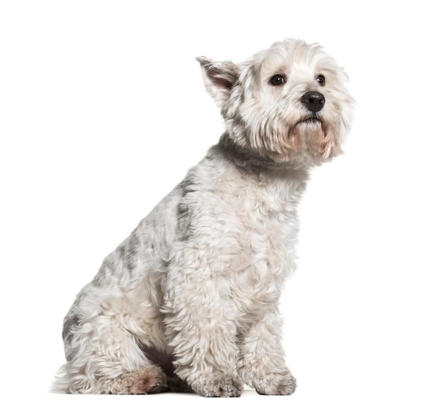 Seduto west highland white terrier dog
