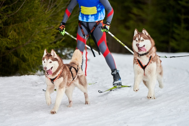 Skijoring cani da corsa. gara sportiva invernale per cani. il cane del husky siberiano tira lo sciatore