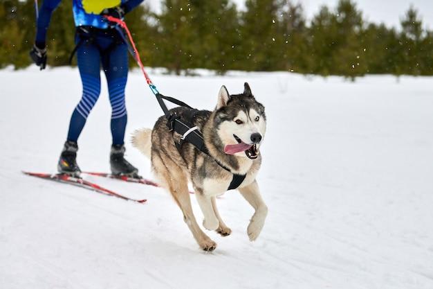 Skijoring dog racing con partecipante